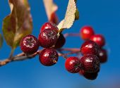 Raceme Black  Chokeberry On A Background Of Blue Sky