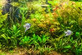 Freshwater Aquarium With Fish Pterophyllum Scalare
