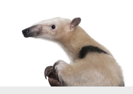 picture of honkers  - Collared Anteater going out from behind a grey blank panel  - JPG