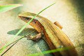 Beige lizard