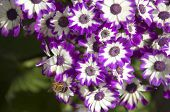 Purple Cineraria