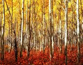 Red Grass and Yellow Aspens