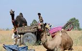 Nomadic gypsy people are preparing to traditional cattle fair holiday in nomadic camp at Pushkar,Ind
