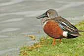 Nz Shoveller Duck