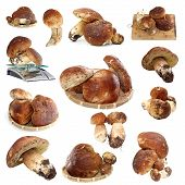 Collection Of Fungi Porcini Ready For Cooking