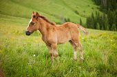 Foal On Greent Meadow In Mountains