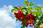 Viburnum Ripe Red On A Branch