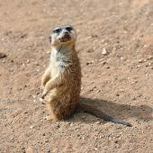 Meerkats (suricate)