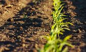 Corn Field In Brown Soil At Sunset