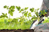 Gardener hands planting tomato seedling