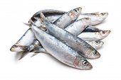 Fresh Raw Sardines