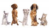 long haired miniature dachshund and standard dachshund and shepherd