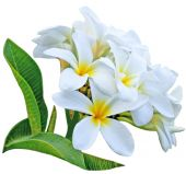 foto of plumeria flower  - Branch of frangipani flower isolated on white background - JPG