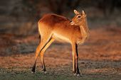 Female red lechwe antelope (Kobus leche), southern Africa