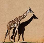 Giraffe Shadow on Wall