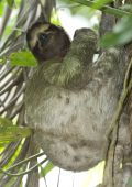 adult female three toe sloth in tree, costa rica