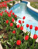 Red Tulips Beside Blue Water