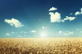 pic of fall-wheat  - wheat field and sunny day - JPG