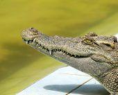 Close up of an Alligator