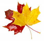 yellow  and red fall leaves