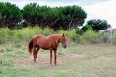 Brown Horse in a meadow with trees