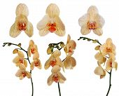 collection of orange orchid flowers isolated on white background