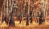 Birch Forest While Autumn Season