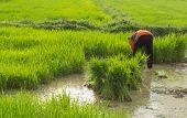 Farmer In The Rice Farm