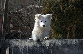 White cute watchdog, Pancharevo town