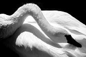 stock photo of trumpeter swan  - A black and white photo of a Trumpeter Swan grooming itself.