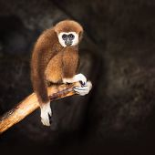 Brown Gibbon