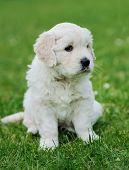 picture of swiss shepherd dog  - Baby swiss shepherd sitting on green carpet - JPG