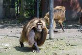 Gelada Baboon (theropithecus Gelada)
