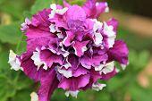 foto of petunia  - Common Petunia flower,purple and white Common Petunia flower blooming in the garden ** Note: Shallow depth of field - JPG