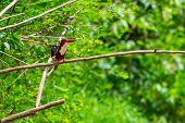 White-throated Kingfisher bird in Thailand
