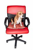 Adorable Beagle Sit Still On Red Chair