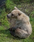 Baby brown bear