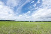 Swaying rice field and sky