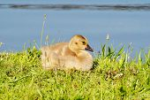 stock photo of baby goose  - Baby Canadian Goose Laying in the Summer Sunhine - JPG