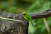 Male Blue-winged Leafbird