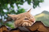 Ginger tabby cat resting on the roof in the cat village of Houtong, Taiwan.