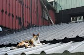 Tortoiseshell cat lying on the roof to rest in the cat village of Houtong, Taiwan.