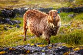 Brown sheep on a pasture in Iceland