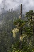 pine tree, forest in tiebt china.