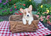 stock photo of corgi  - Sweet Corgi puppy sitting in a picnic basket outside with flowers all around her - JPG