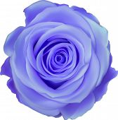 illustration with blue rose flower isolated on white background