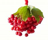 Shiny Red Gueld- Rose Berries
