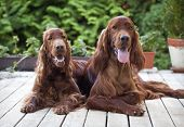 pic of english setter  - Beautiful young Irish Setters looking at the camera - JPG