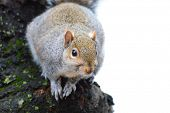 Gray squirrel on tree
