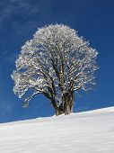 Maple Tree On A Winter Day